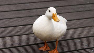White-Duck